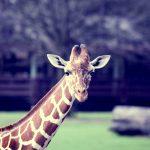 giraffe(ジラフ)のキュートなネクタイはギフトにもおすすめ!
